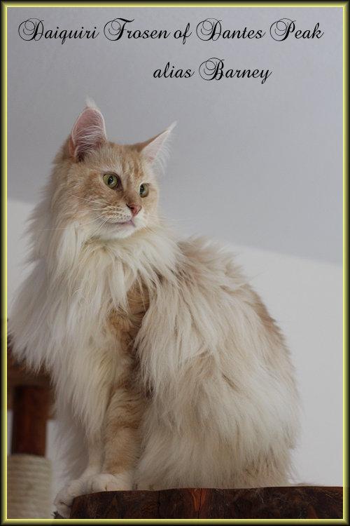 MaineCoon Katze