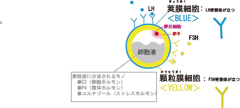図1:採卵前の卵胞のイラスト