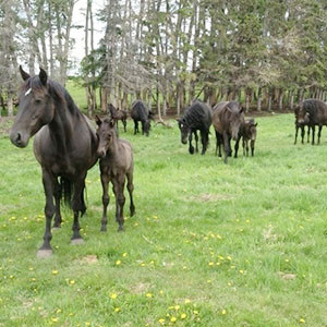 Canadian Hay Ranch horse herd