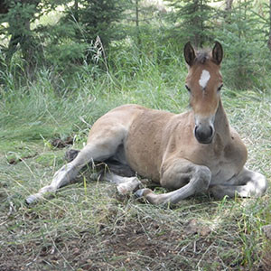 Canadian Hay Ranch foal