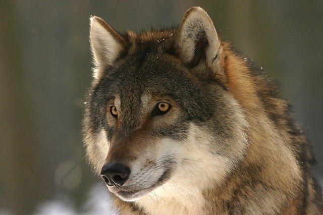 Jeder zehnte Wolf in Deutschland wird illegal abgeschossen