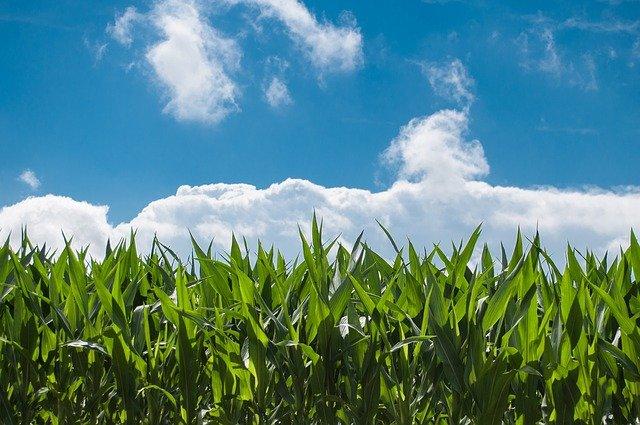 Klimawandel macht Anpassung der Getreidesorten erforderlich