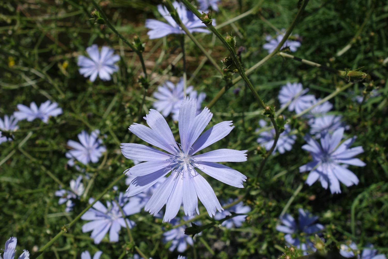 Chicorée sauvage (Cichorium intybus)