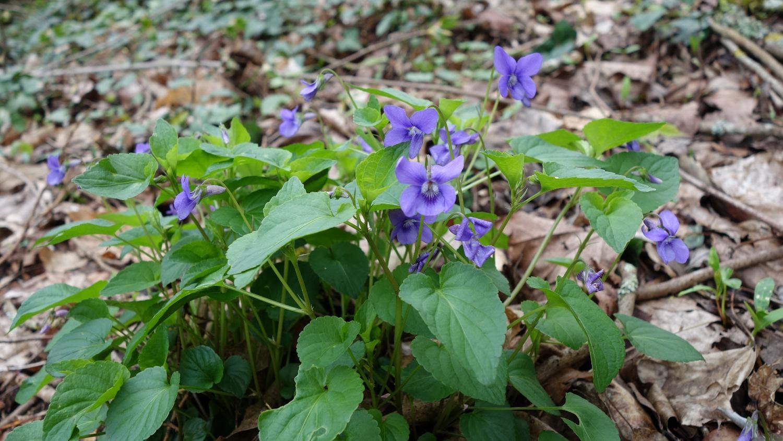 Violette sauvage (Viola sp)