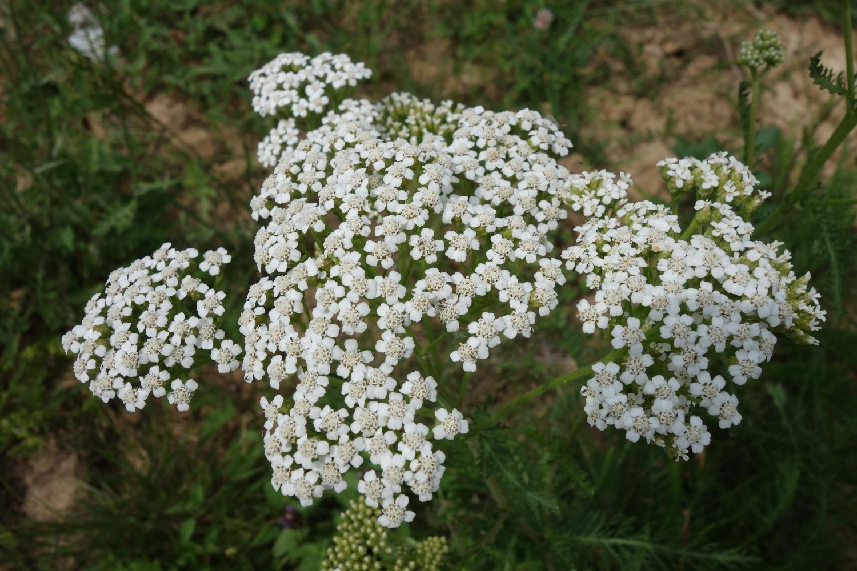 Achillée millefeuille (Achillea millefolium )