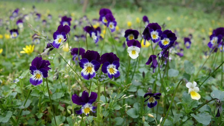 Pensée sauvage (Viola sp.)