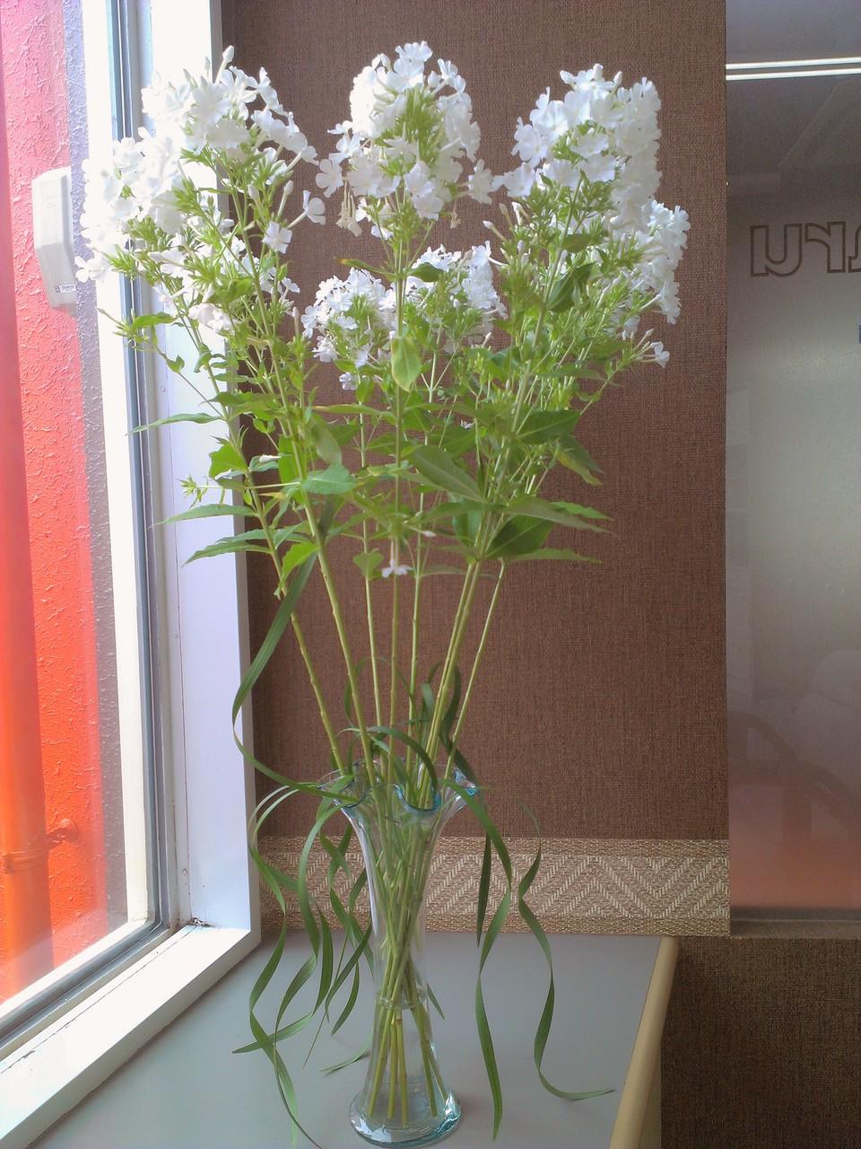 2014.08.06 フロックス(別名:花魁花)、ミスカンサス ・白くてかわいらしいお花が沢山咲き始めているのがフロックス、花瓶からカールしながら下に伸びている葉っぱがミスカンサスです。白いお花が円を描くように咲き誇る様をお楽しみ下さい。花言葉:フロックス【合意、あなたの望みを受けます】、ミスカンサス【心が通じる】