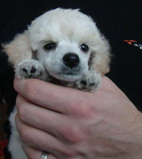 сонник щенок белый пудель совсем