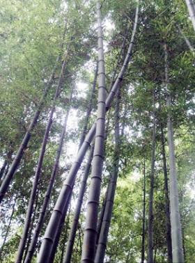 山東省の竹林(孔子の故郷)