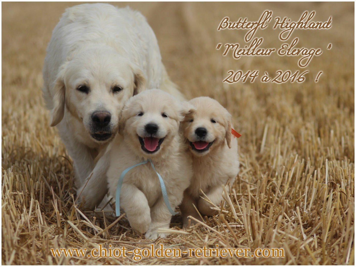 Elevage de Chiots Golden retrievers - Chiots Golden retrievers