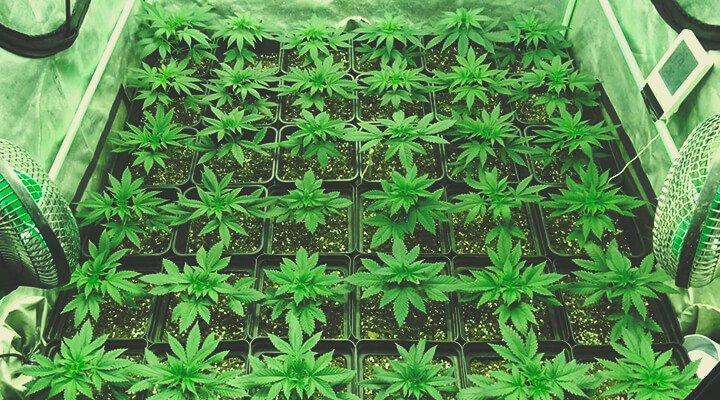 ¿Cuántas plantas de marihuana por metro 2?