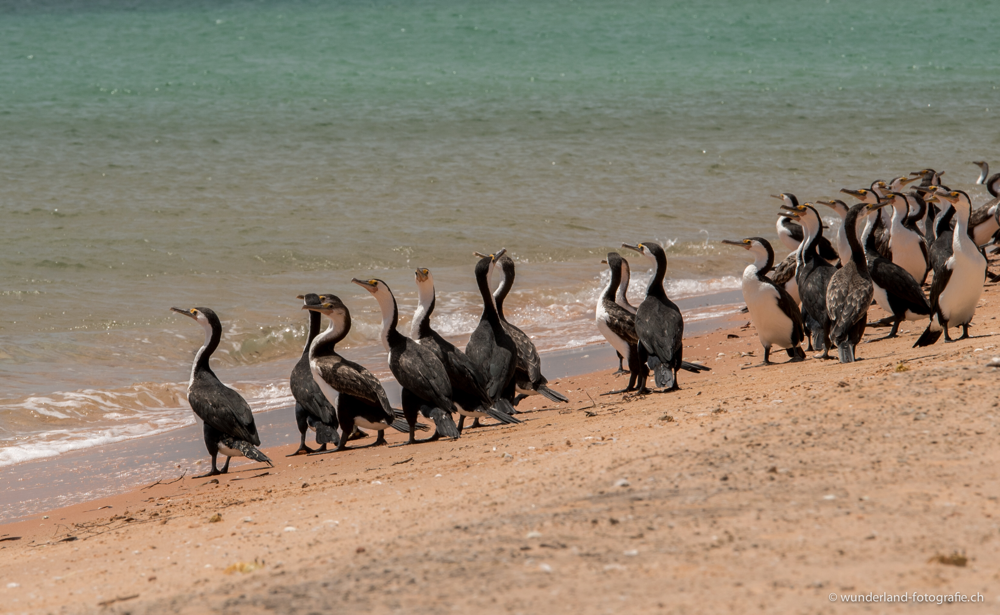 Wasservögel im Francois Peron Nationalpark.