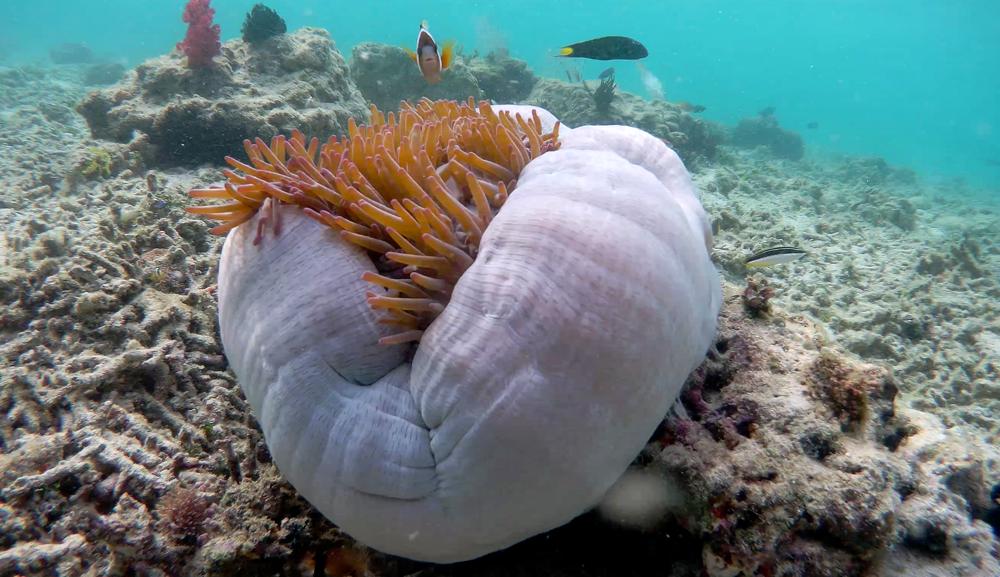 Nemo verteidigt seine Anemone