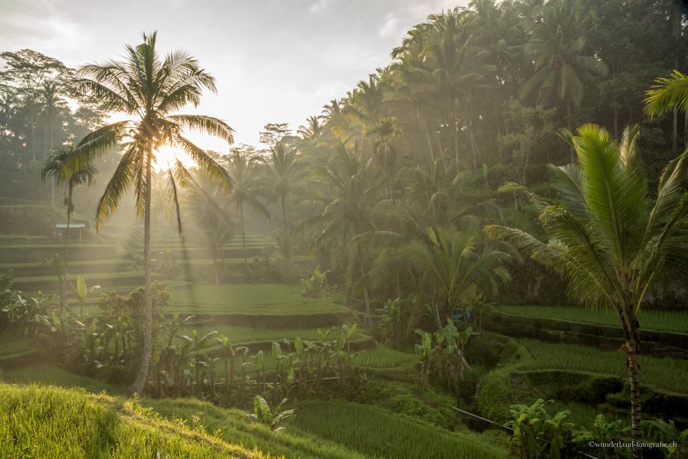 Tagallalang Reisfelder