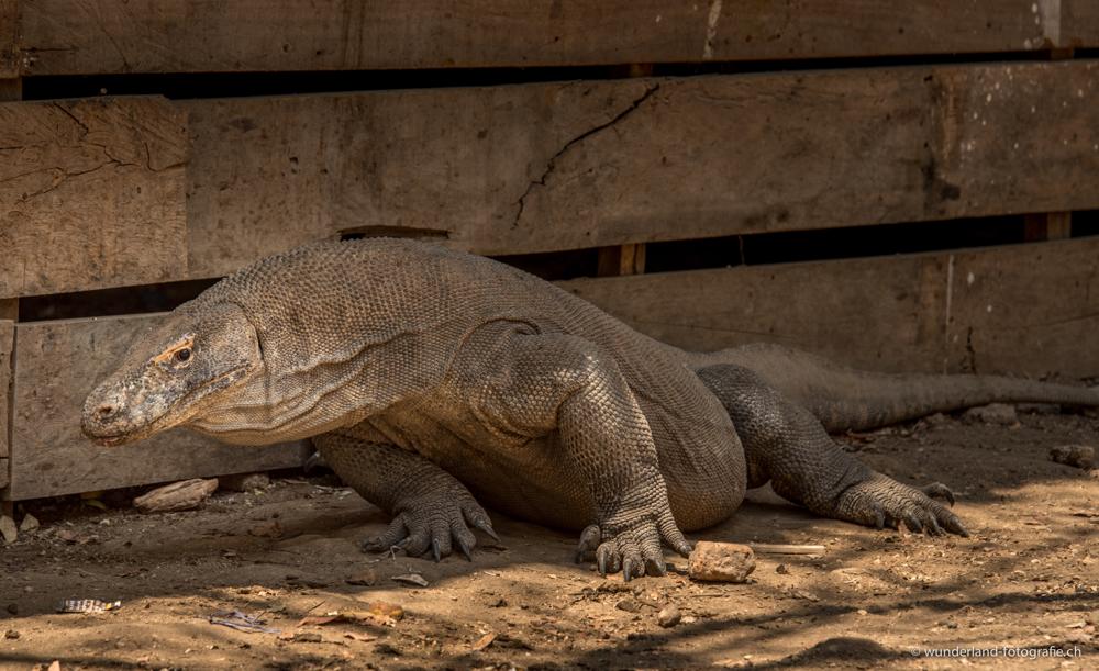 """Komodo-Warane auf indonesisch auch einfach """"Drachen"""""""