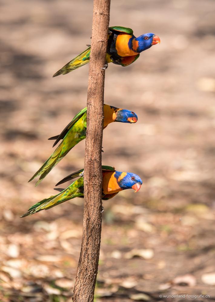 Rainbow Lorikeets im Nitmiluk Nationalpark