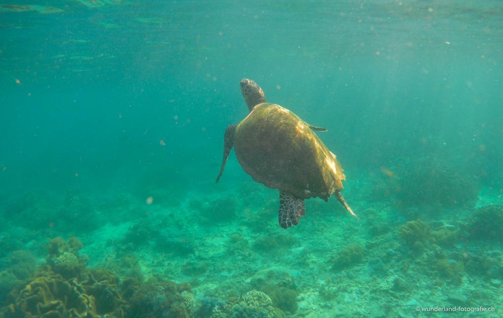 Schildkröten im Meer vor Komodo