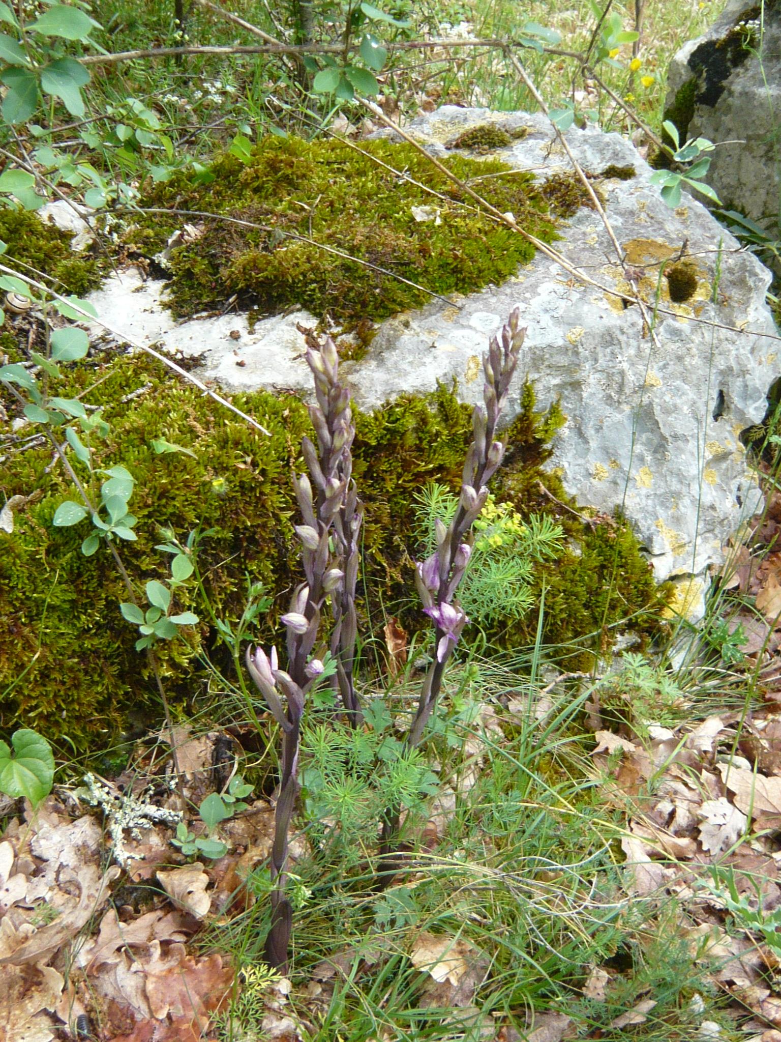 Limodore à feuilles avortées