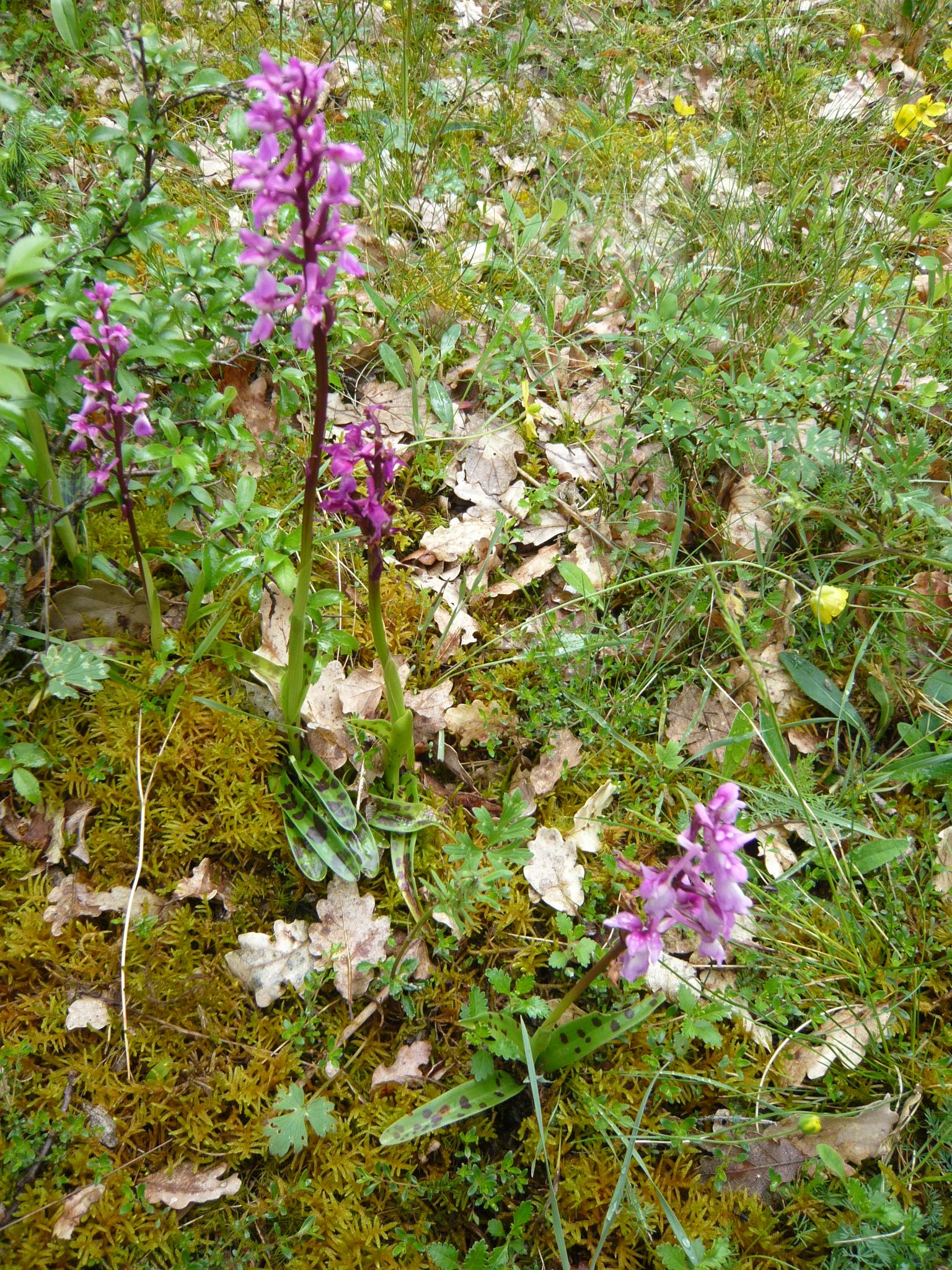 Orchis mâle laxiflora à feuilles tachetées