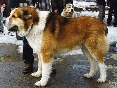 купить щенка среднеазиатской овчарки.