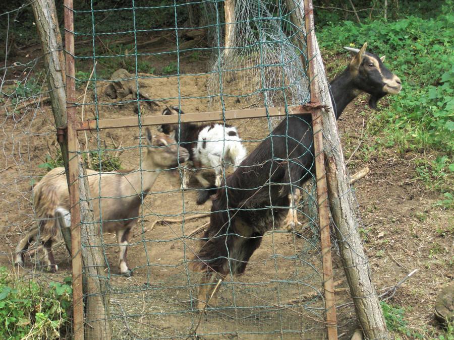 Die Ziegen, die uns verlassen haben ...