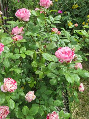 rosier bicolor