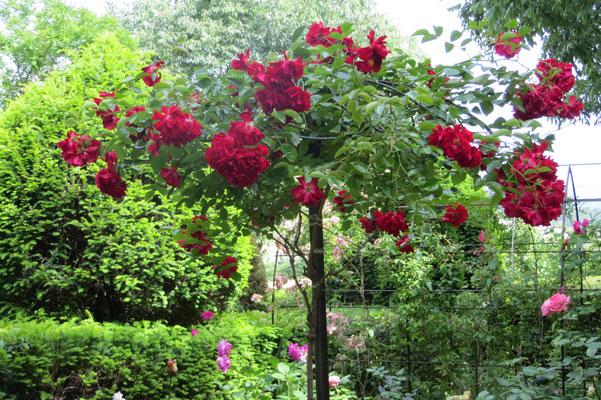 rosier Austria sur parasol