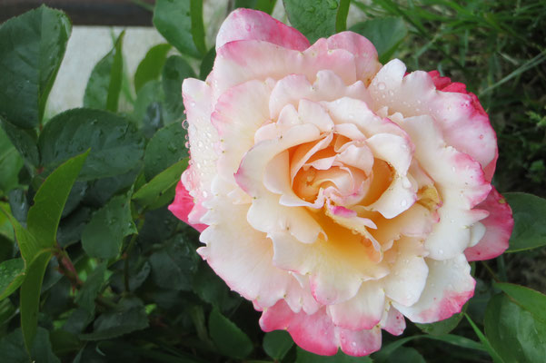 rosier
