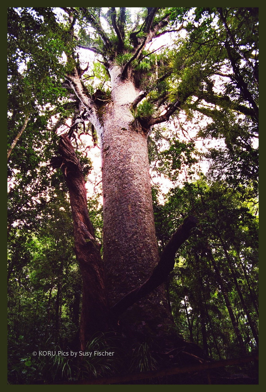 Tane Mahuta, Waipoua Forest