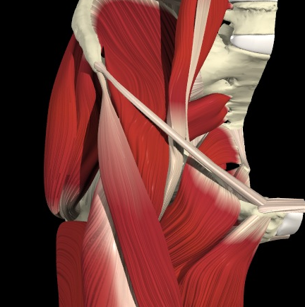 Abb. 3. Hüftmuskeln von vorne