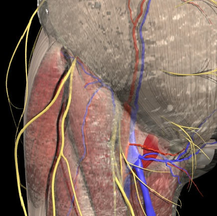 Abb.4:  Nerven (gelb), Arterie (rot), Venen (blau)