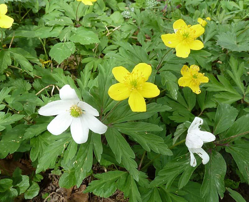 Gelbes Windröschen und Buschwindröschen (Anemonen)