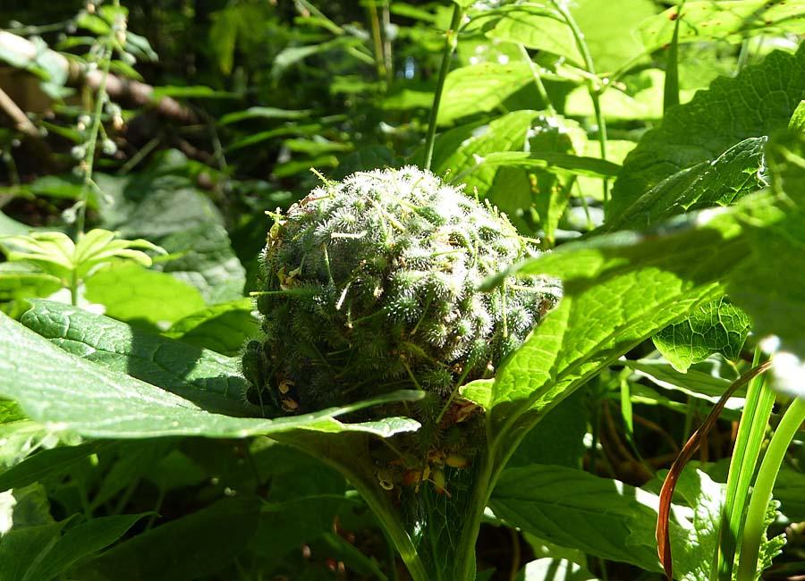 Hexenkrautsamenball auf Blättern