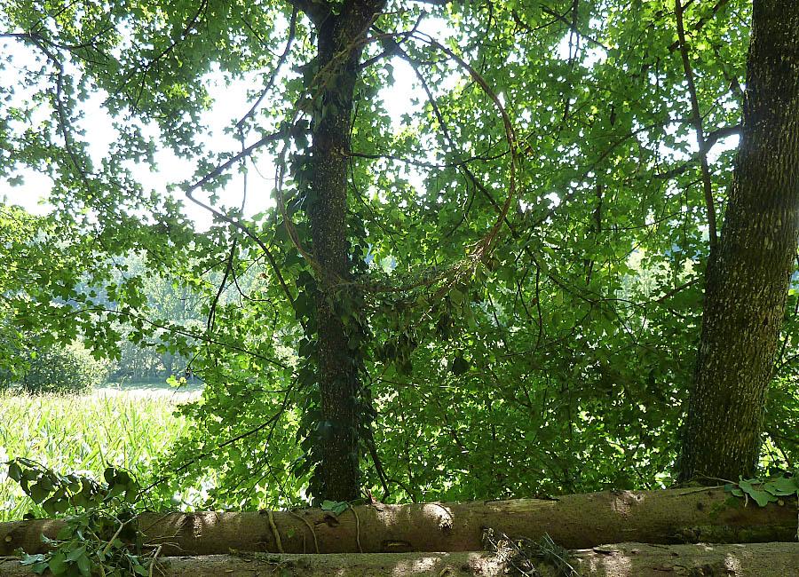 Efeukranz für gefallene Bäume