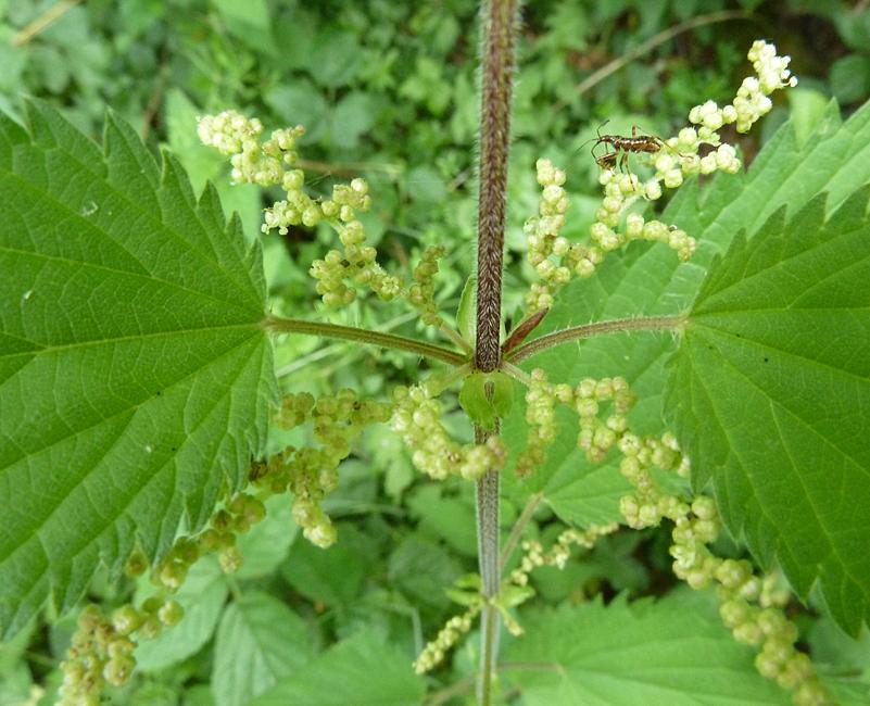 männliche Brennnesslpflanze mit Blütenpollen