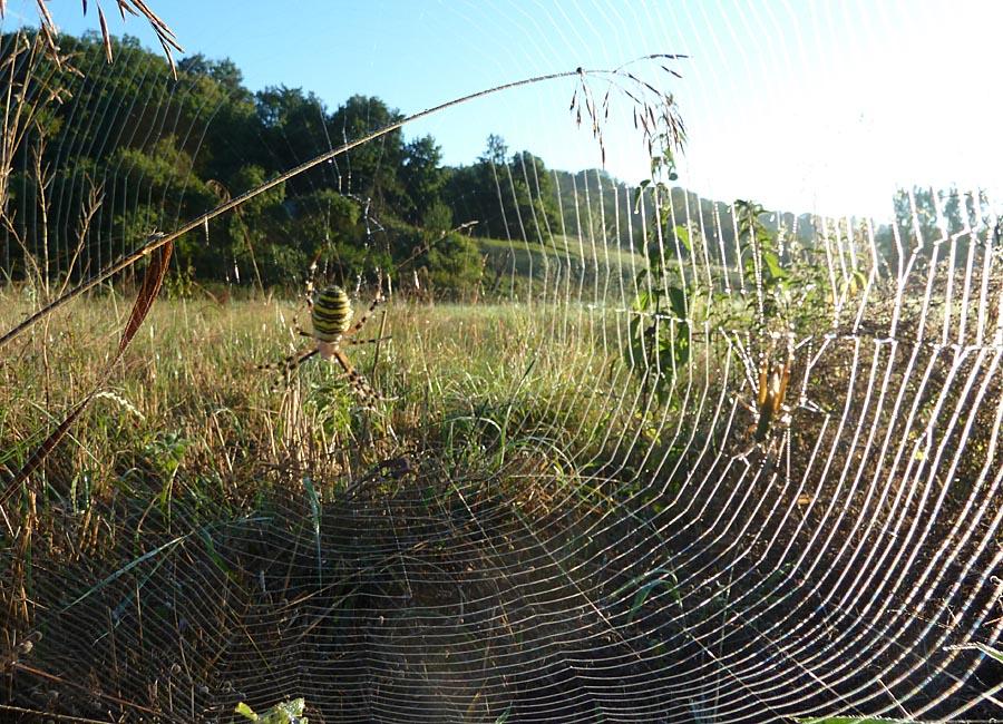 Spinne am Morgen