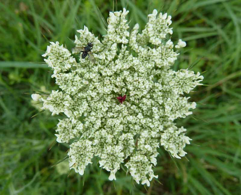 Wilde Möhre Blüte