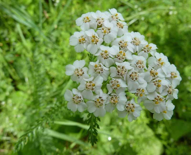 Schafgarbe Blüte