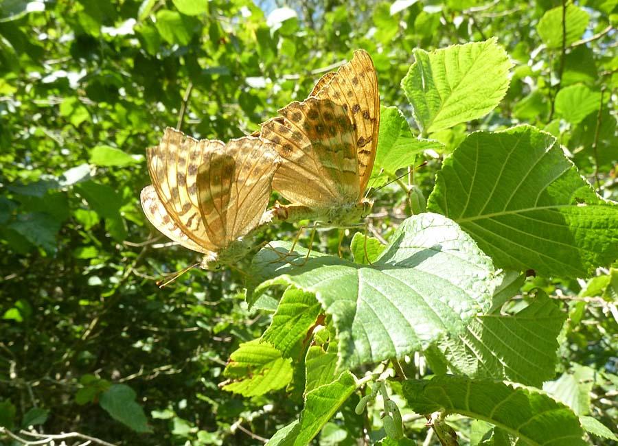Schmetterlingspärchen