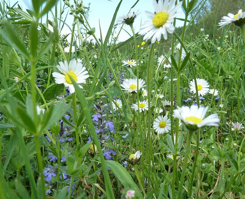 Blütenwiese: Günsel, Gänseblümchen, Labkraut, Sternmiere