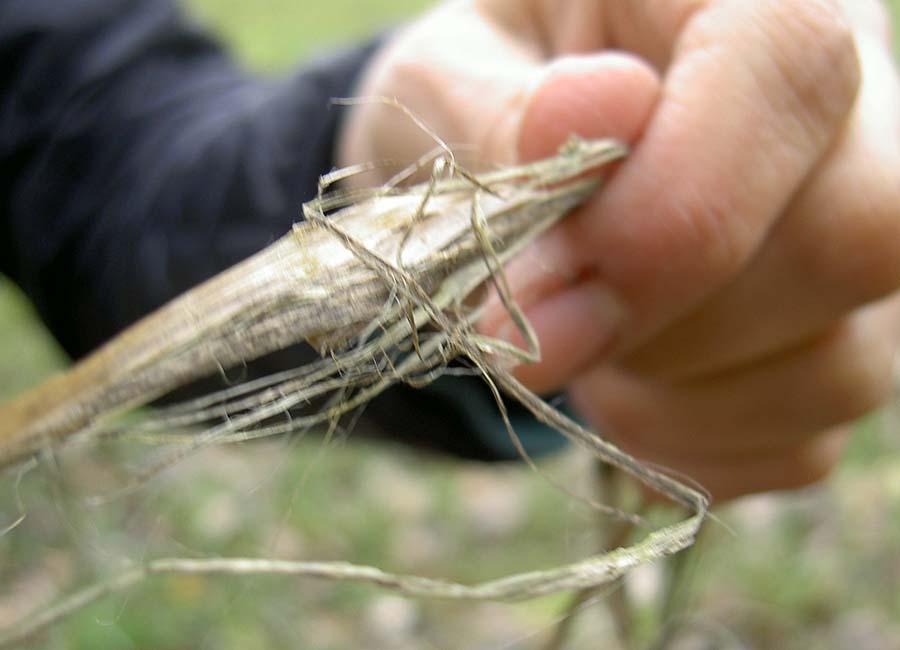 Faserprobe trockene Stängel