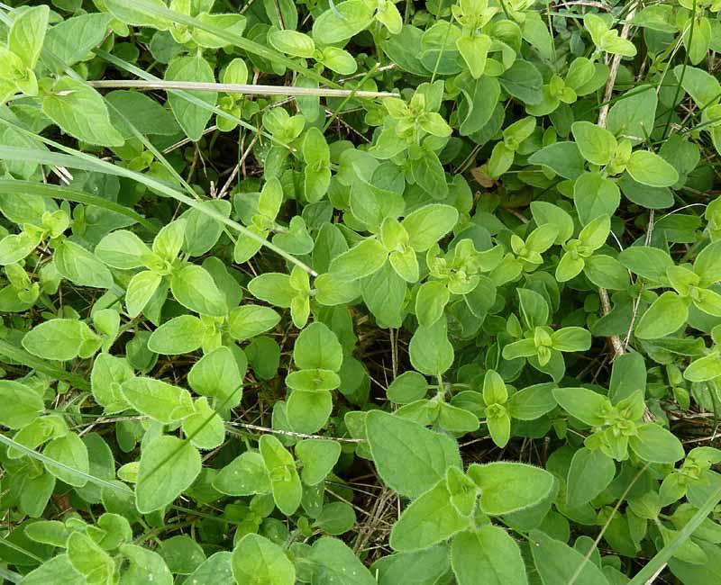 Wilder Majoran, nachgewachsene Blätter