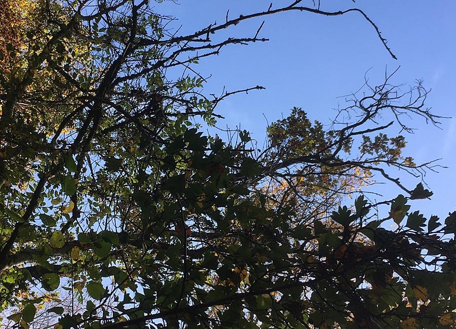 Baumfeen-Dreiheit: Eiche, Weißdorn, Esche