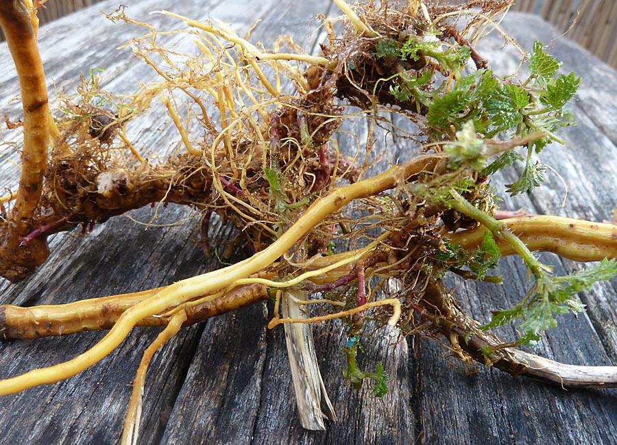große Brennnessel (urtica dioca)