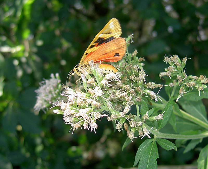 Wasserdost mit Schmetterling