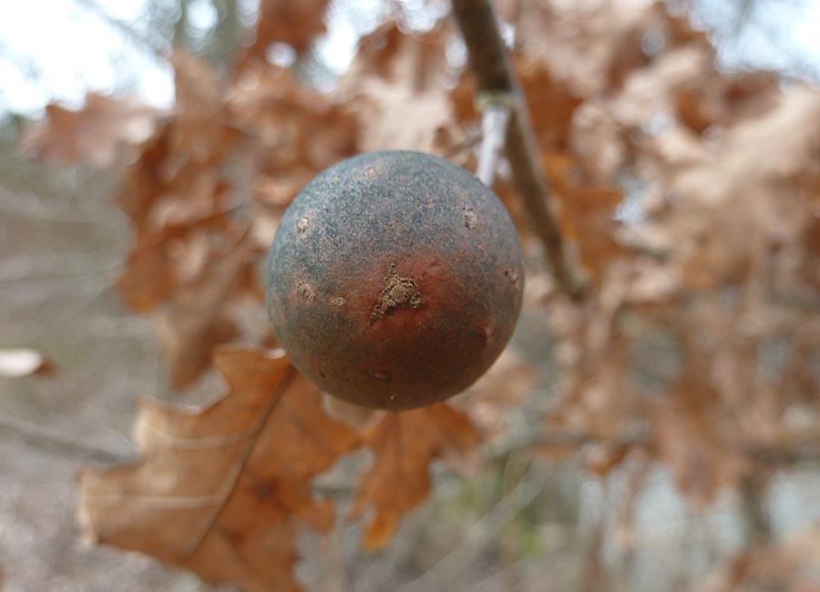 Galläpfel
