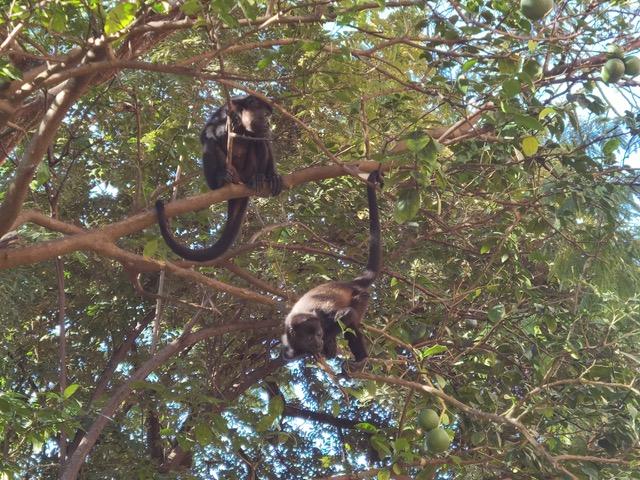 Tägliche Bewunderung: Die Affen ganz nah in freier Natur (Foto: Evi Burkhardt)