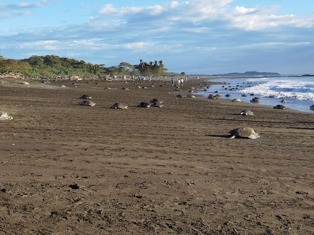 Das Schildkröten-Spektakel in Playa del Ostional, Costa Rica (Foto: Evi Burkhardt)