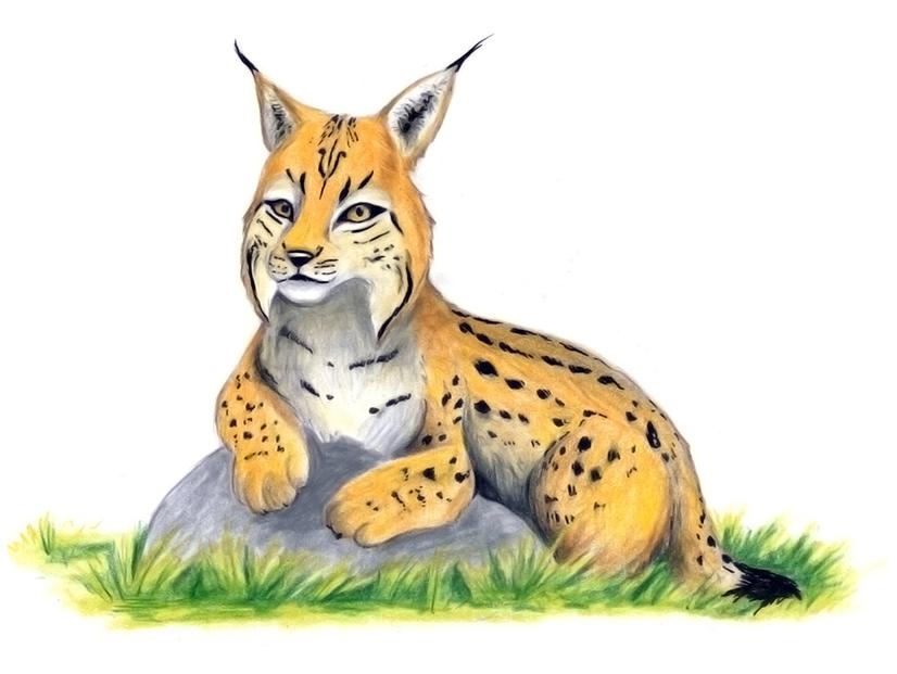 Lynx, illustration nature, enfant, pédagogie, sensibilisation