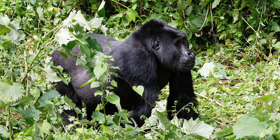 Rushaga-mountain-gorilla.jpg